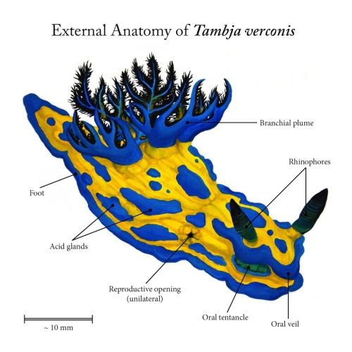 rhamphotheca:  scientificillustration:wadeangeliart: This Dorid Nudibranch (sea slug) looks like Play-Doh, and is found in SE Australia and NE New Zealand. Scientific Illustration, 2013 - acrylic and digital Thanks for the submission Wade!
