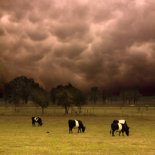 wapiti3:  Dutch Belted Cattle under Mammatus Clouds by J u n g a on Flickr.