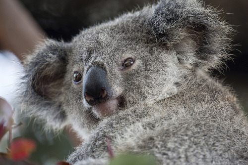 deboracpq:  Voting Results: Koala Joey Named Kirra by Official San Diego Zoo on Flickr.