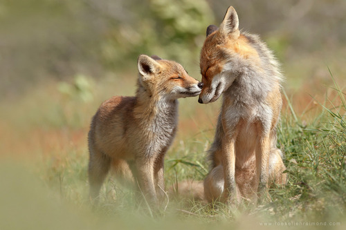 "diisneylaand:  ""Fox Felicity"" by Roeselien Raimond on We Heart It. http://weheartit.com/entry/52802439"