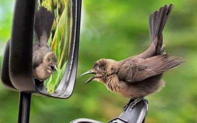 A common grackle attacks its reflection in car mirror thinking it is a rival bird in St Lucia.  Picture: Tim Withall/Rex Features