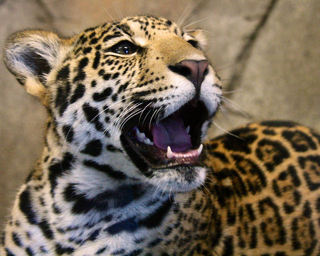 sdzoo:  Happy boy! by Penny Hyde on Flickr. Tikal the Jaguar Cub at 7 and a half months