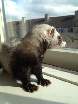 ferretfriends:  Annie in the sun (which she apparently doesn't hate)