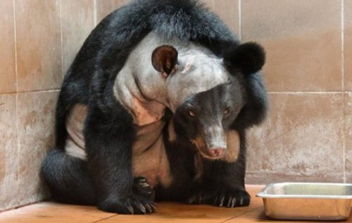 "neuromorphogenesis:  This is the first bear to ever have brain surgery A three-year-old Asiatic Black bear named Champa has just undergone successful surgery to remove a buildup of water in her brain. It marks the first time in medical history that a bear has been given such a procedure. Champa has lived most of her life at a northern Laos sanctuary run by Free the Bears, an Australian conservation group that protects bears from wildlife traffickers. Asiatic Black bears are hunted for their bile — a valuable ingredient in traditional Chinese and Korean medicine. She was rescued when still a cub, but Champa's handlers soon noticed she had a protruding forehead and had difficulty socializing with other bears. Eventually, the growth slowed, but her behavior became increasingly erratic and her vision faded. Veterinarians diagnosed her as having hydrocephalus — water on the brain. Because it's against Buddhist tradition to euthanize animals, the sanctuary staff arranged for a specialist, Romain Pizzi, to perform a technique called ""keyhole"" or laparoscopic surgery in which a small incision is made with the help of a small camera. And indeed, Champa was in good hands; Pizzi has performed similar surgeries on other nonhuman animals, including seals, reindeer, and jaguars. In preparation, Pizzi talked to pediatric surgeons, studied bear skulls and brains, and looked at the brains of a hydrocephalic otter and fox. The procedure lasted six hours (details here). At one point a medical pump short-circuited on account of the high humidity, and Pizzi had to resort to a mattress pump to keep the bear's abdomen inflated. Soon after the surgery, Champa could finally raise her head to look directly at sanctuary staff. Though they can't be entirely certain, the staff also suspects that her vision has improved. But her headaches appear to be gone, she's gained weight, and she's now more sociable with other bears."