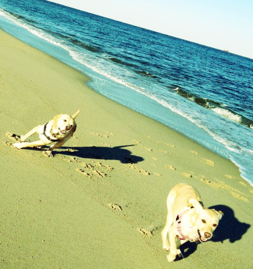 Stanley & Stella enjoy some off leash time on the beach.