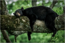 americasgreatoutdoors:  A black bear takes a nap in Great Smokey Mountain National Park.Photo: Charlie Choc