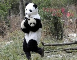 awwww-cute:  Panda researchers in China, wear panda costumes in work