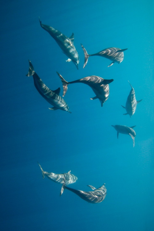 Long Snouted Spinner Dolphins By James R.D. Scott