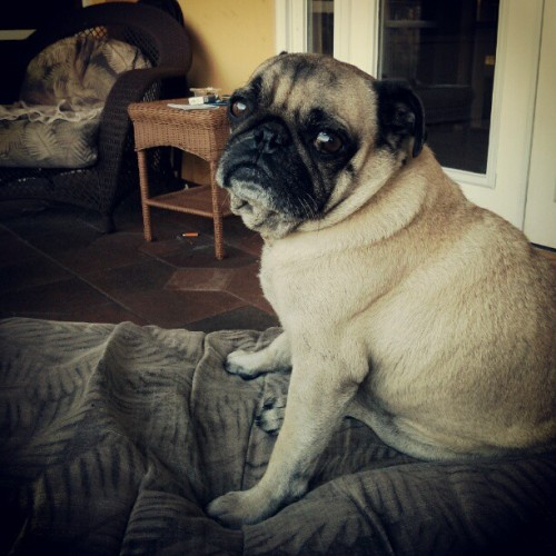 upanddowns:  Flawless #pugs