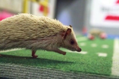 "positive-press-daily:   Puppy Bowl IX Will Include Hedgehog Cheerleaders and Tiny Hot Tubs  Because a news reporting bird, hamsters in a blimp, a kitten halftime show and 63 puppies hadn't been adorable enough to initiate world peace, Animal Planet announced a new addition to its roster yesterday: a ""squadron of cheerleading hedgehogs."" They'll take the field for the main event from 3 to 5 p.m. at Puppy Bowl IX, which runs consecutively with the Super Bowl on February 3. If their contributions don't spark immediate global pacifism, Animal Planet has one more trick up its faux fur sleeve. This year, benched players can soak in teeny tiny hot tubs until they're ready to re-enter the big game. And much like the water bowl cams, the pup-sized jacuzzi will have a live, submerged video feed.  Here's the entire press release."