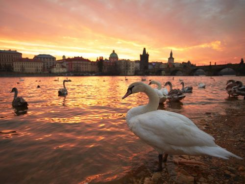 Swans, Prague  Photograph by Jaromir Chalabala