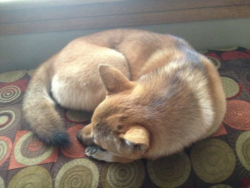 coatlicuesserpentskirt:  She did that thing where she looks like a curled up fox or cat