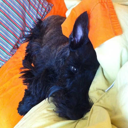 Sully sleeping in… #scottie #sleep #dog