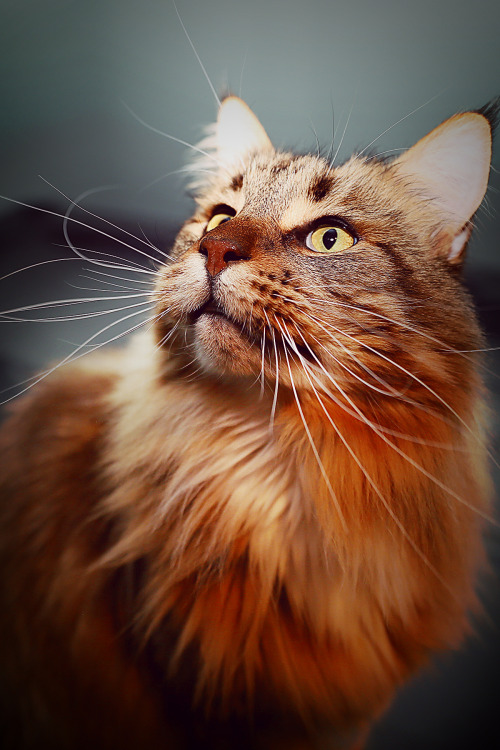 photographers on tumblr caturday maine coon animals cats