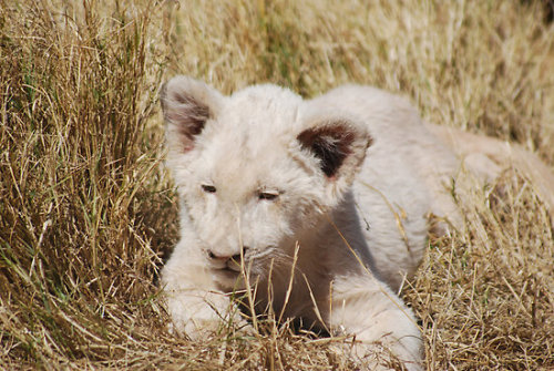 "redwingjohnny:  ""White Lion Cub"" by laureenr 