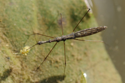 This insect is a European water measurer (Hydrometra stagnorum), also known as a marsh-treader. They belong to the family Hydrometridae, which consists of all water measurers. These species live on the surface film of water—like pond skaters—but they move in a creeping, stealthy way that allows them to sneak up on their prey. Water measurers are predators at all stages of their lives, using their sharp mouth-parts to spear and suck the life juices out of their prey, which they prefer to be already dead or dying. They use vibrations along the surface of the water to locate their prey, such as the springtail (class Collembola) that the water measurer shown has caught. (Source)