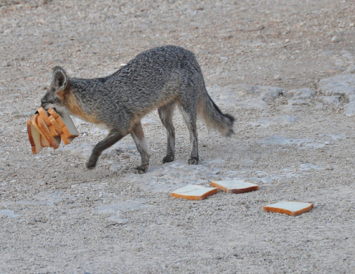 wigmund:  fuckyeahvulpes: Gray Fox (Urocyon cinereoargenteus) Photo by Bob and Diana Nelson