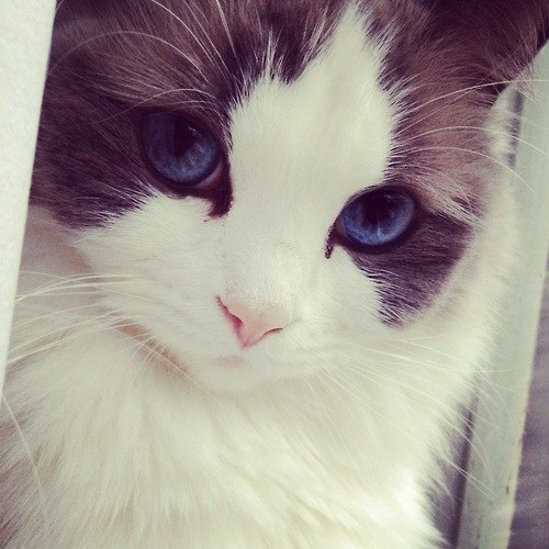 sharp-ish:  alexkisu:  that cat wears eyeliner better than me  that cat is more attractive than me in general