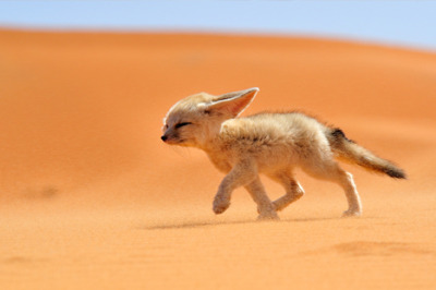 Desert foxes don't got no fear.