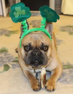 Little Frenchie Leprechaun