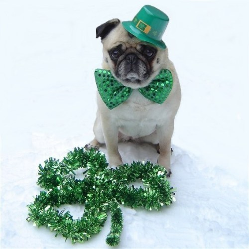 Cute Pug St. Patrick's Day submitted by dapuglet