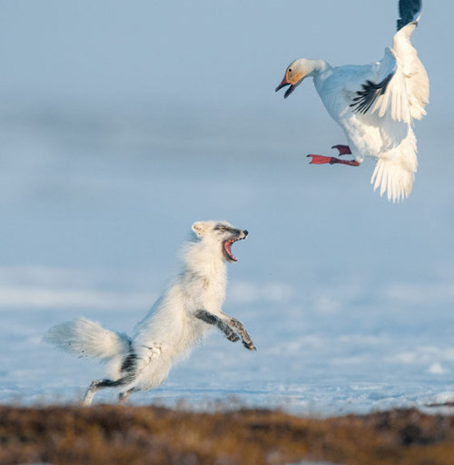 nationalgeographicdaily:  Photo: Sergey Gorshkov A feisty fox drives a snow goose from her nest, a gambit before an act of egg thievery. A colony of geese migrates to the island in May after wintering in North America.