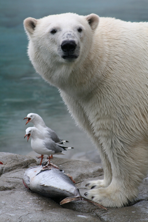 h4ilsham:  Polar Bear, Gold Coast Seaworld, Australia (by boof13)