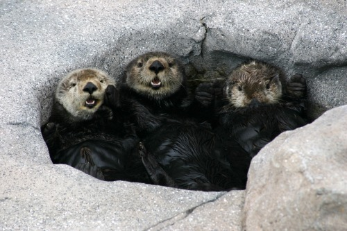 "Our renovated Sea Otter exhibit includes an area we fondly call ""the spa."" Gidget, Kit and Ivy seem to approve of this new feature, don't you think? We hope your #Monday is going this swimmingly! Thanks to Sea Otter Aquarist Nikki Dinsmore for the great photo! Watch them now on our live web cam."