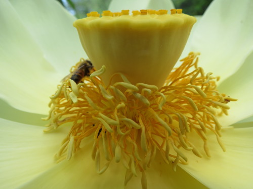 American lotus blooms - imposing and ephemeral. Blooms last no more than three days. Buried rhizomes persist for years and are edible along with the seeds. Careful, don't confuse this flower for other water lovers like lilies which may be toxic....