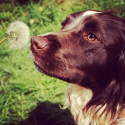 misshordle:  #springer #spaniel #pets #dogs #dogsofinstagram #cute #photography