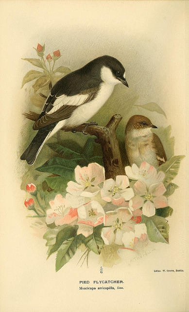 jomobimo:  pied flycatcher, Coloured Figures of the Birds of the British Islands / issued by Lord Lilford, 1885-1897