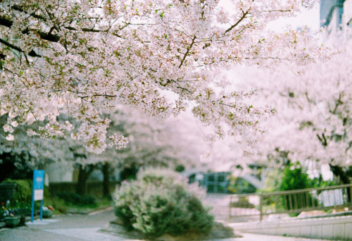 demech:  Sakura by yasu19_67 on Flickr.