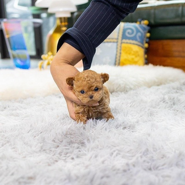 Lil Isaac 🧡 OMG So Adorable! Itty-bitty Mini Apricot Poodle Baby 😍🐾@cat_.lovers_.and_.dog_.lovers_ 🐶 Rate this cuteness out of 10 ❤️ Visit @cat_.lovers_.and_.dog_.lovers_ for ☕️+ 🐶 @cat_.lovers_.and_.dog_.lovers_ @cat_.lovers_.and_.dog_.lovers_ . . . .   .      #doglover #doglovershow #doglover🐶❤️ #dogloversfeed #dogloversolo #doglovergifts #dogloversbandung #dogloverspics #dogloversusa #dogloverofinstagram #dogloversmedan #dogloverclub #doglover🐕 #doglove (at Casa Canforini) https://www.instagram.com/p/CQYZuMzp9Nh/?utm_medium=tumblr #doglover#doglovershow#doglover🐶❤️#dogloversfeed#dogloversolo#doglovergifts#dogloversbandung#dogloverspics#dogloversusa#dogloverofinstagram#dogloversmedan#dogloverclub#doglover🐕#doglove