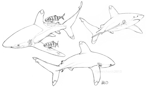 Oceanic whitetip sharks (and pilot fish). This extremely vulnerable species will be voted on for listing under CITES in March - read more about the risks they face here.