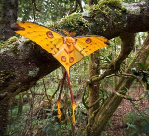 saintgatsby:   A recently emerged male comet moth (Argema mittrei) dries its wings in the forest understorey in the Andasibe-Mantadia National Park, MadagascarPhoto by Nick Garbutt  I want to take him hoooome.