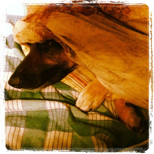 Peekaboo #dog #puppy #cute #blanket #cuddly