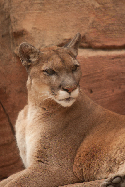 Puma by e_monk on Flickr.iainyork