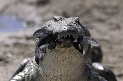 Nile crocodile with a tasty treat! (by lyn.f)