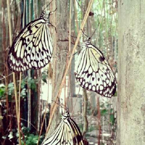 They kinda knew I was taking a photo. These butterflies know how to pose! #bohol #travel #philippines