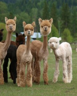 mugwumpquest:  Sheared Alpacas