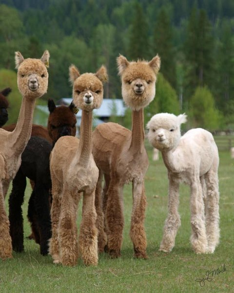 grimboyjr:  chaotic-awesome:  buttpilgrim:  mugwumpquest:  Sheared Alpacas  uh  FUCKING RUN  'You're gonna burn for what you did to us'