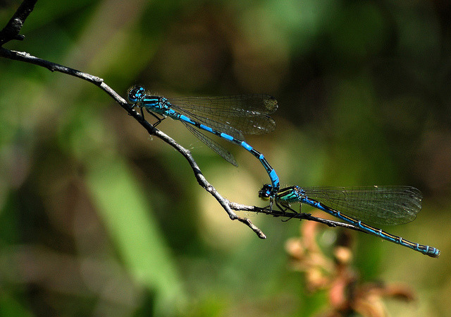 Southern Damselflies (Coenagrion mercuriale) on Flickr.