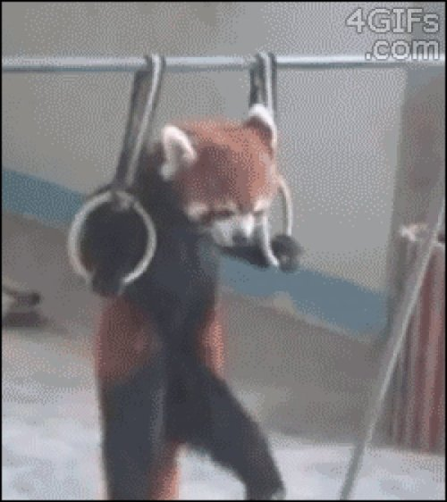 This Red Panda Wants to Know if You Even LiftPsh, I'm not endangered. I do the endangering.