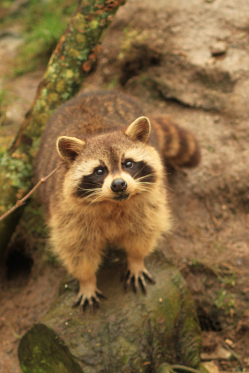 ayustar:  Raccoons at Porfell Wildlife Park (18.02.12) 833.jpg by atthezoouk on Flickr.
