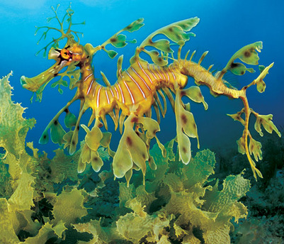 The majestical leafy sea dragon.  Note the brighter colour, which is more consistent with living kelp than the murky brown of Skrelp and Dragalge.