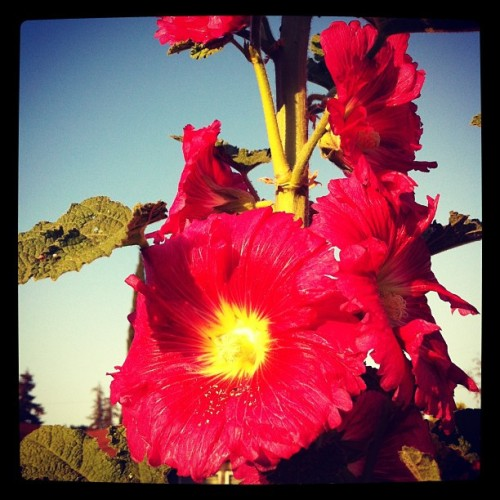 Hollyhocks | A Gardener's Notebook with Douglas E. Welch
