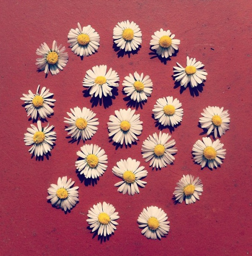 simple, as a daisy (another photo of mine)