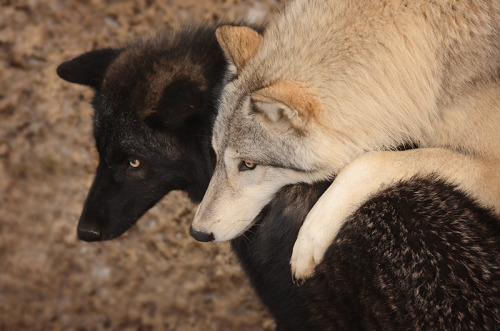 (via Wolf Hugs by *Fall-of-rain on deviantART)
