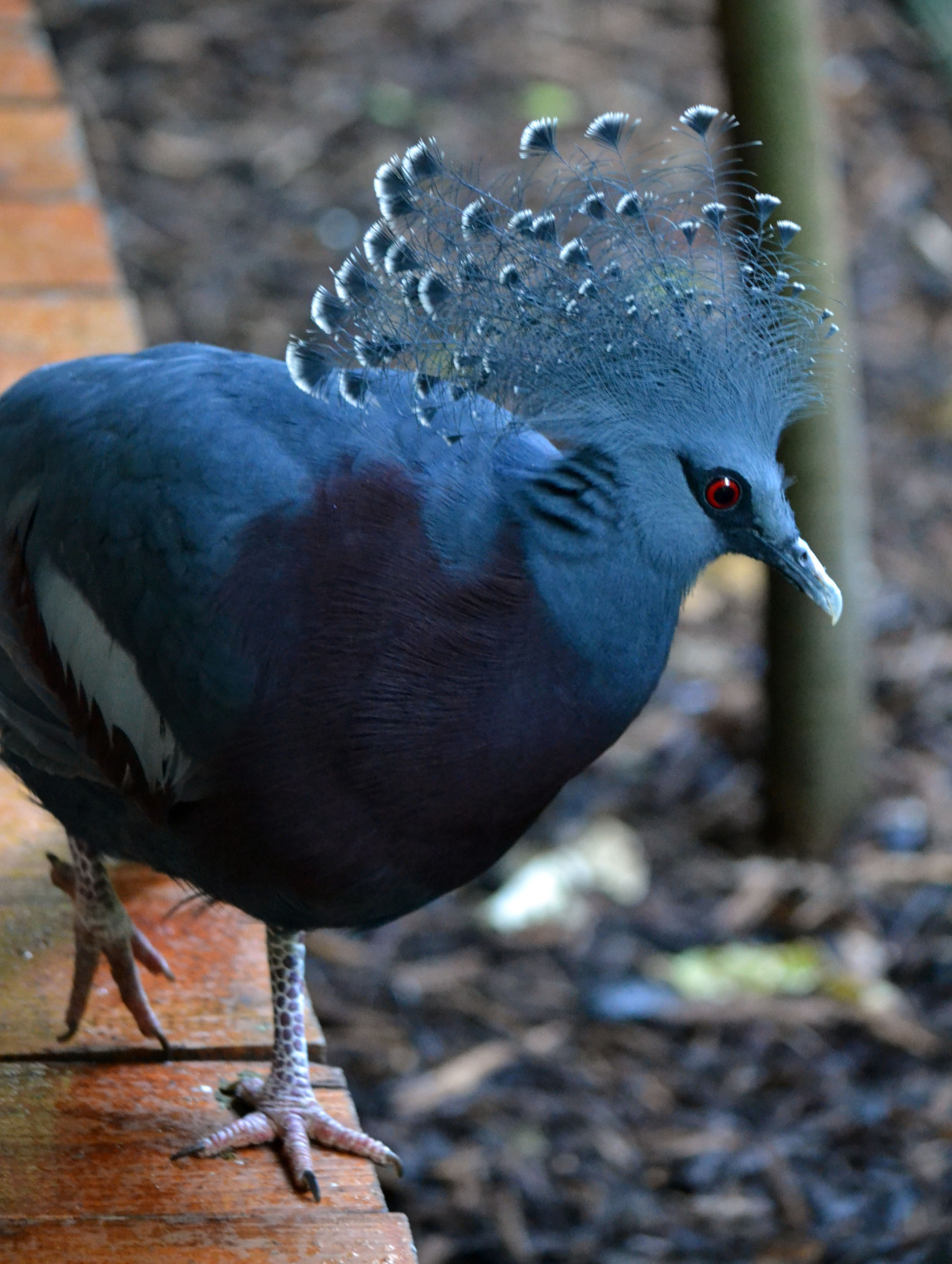 photographersdirectory:  Victoria Crowned Pigeon I'm relatively new to photography, having only just acquired my first camera. Wildlife and nature are passions of mine. So, naturally my photographic instincts turn my camera towards  animals, birds, and plants. Armed with a D3100, and various lenses, I can usually be found crawling around in the bushes whilst stalking various creatures. Tumblr | Flickr