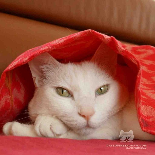 "catsofinstagram:  From @m_naoyo: ""This is Natsu. 8years ago, she was rescued off the streets by my son, niece and nephew. Now she is the princess of our family!"" #catsofinstagram [catsofinstagram.com] [source: http://bit.ly/10am64j ]"